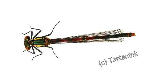Damsel Fly 3