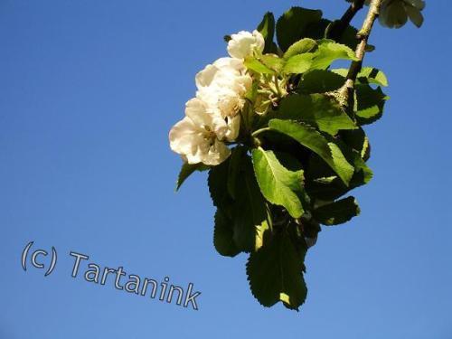 Apple Blossom twig