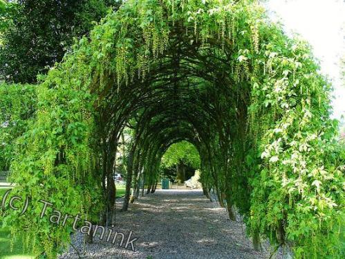 Laburnum Arch