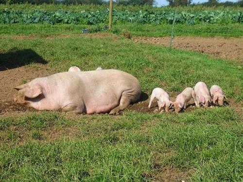 Pigs n Piglets